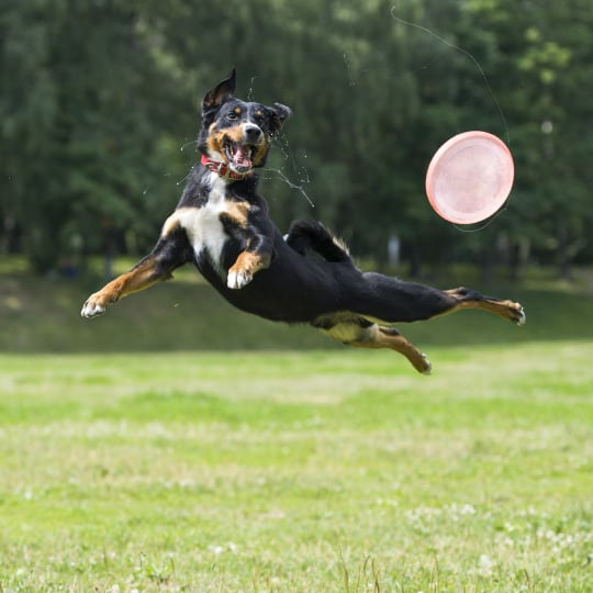 A footballers injury for dogs…