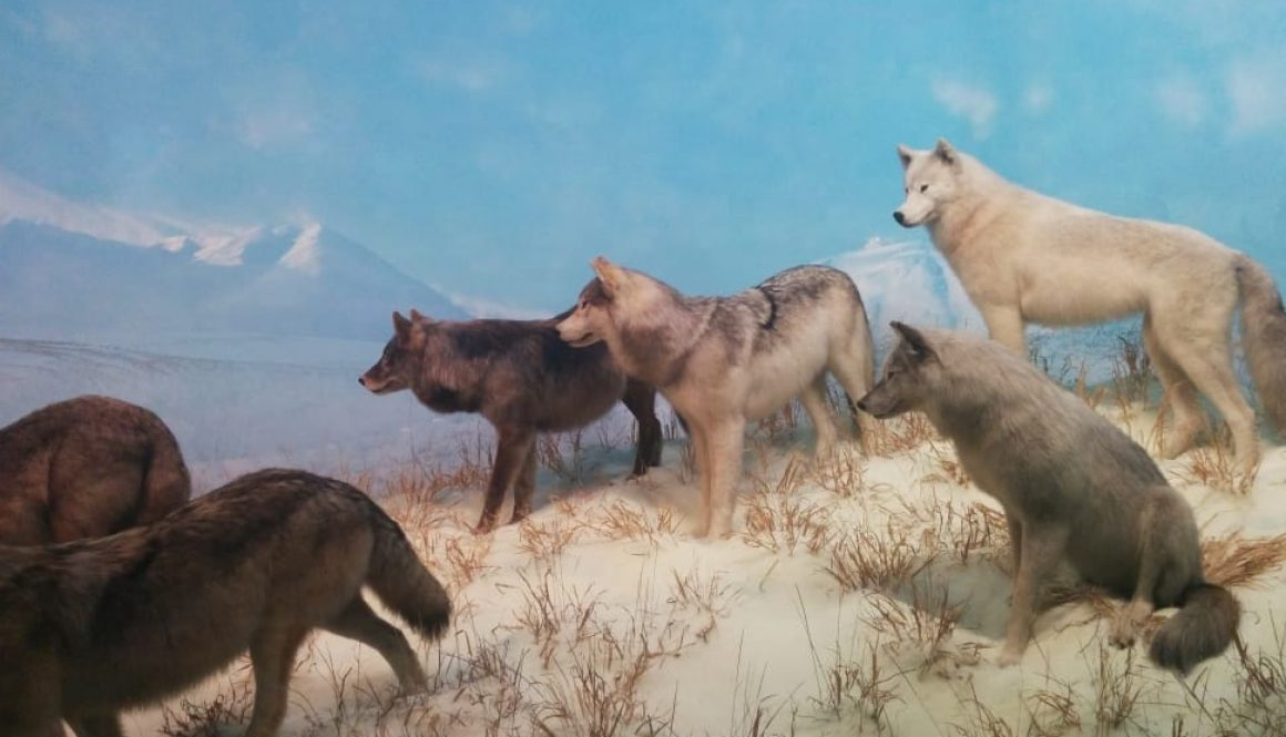 wolves-wolf-pack-wildlife-wild-wallpaper-preview