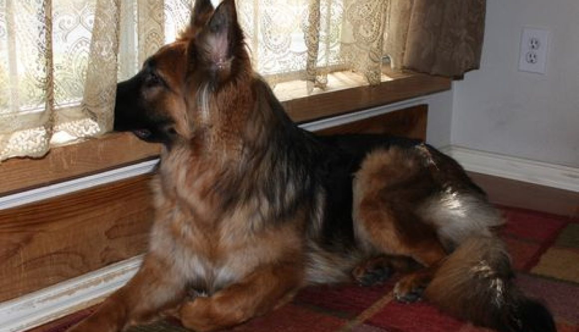 german-shepherd-waiting